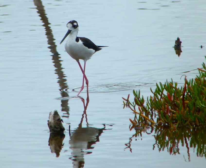 Black-necked Stilt, Abaco