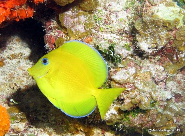Blue Tang (juv) © Melinda Riger @ Grand Bahama Scuba