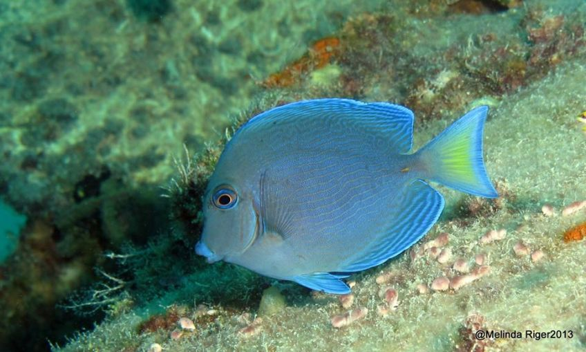 Blue Tang (juv, changing colour) © Melinda Riger @ G B Scuba