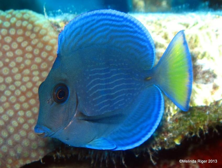 Blue Tang (Juvenile) ©Melinda Riger@ G B Scuba