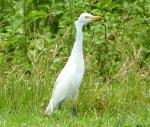 Cattle Egret, Sandy Point, Abaco - Keith Salvesen