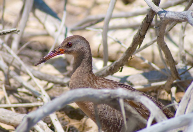 Clapper Rail on Abaco by Sandy Walker