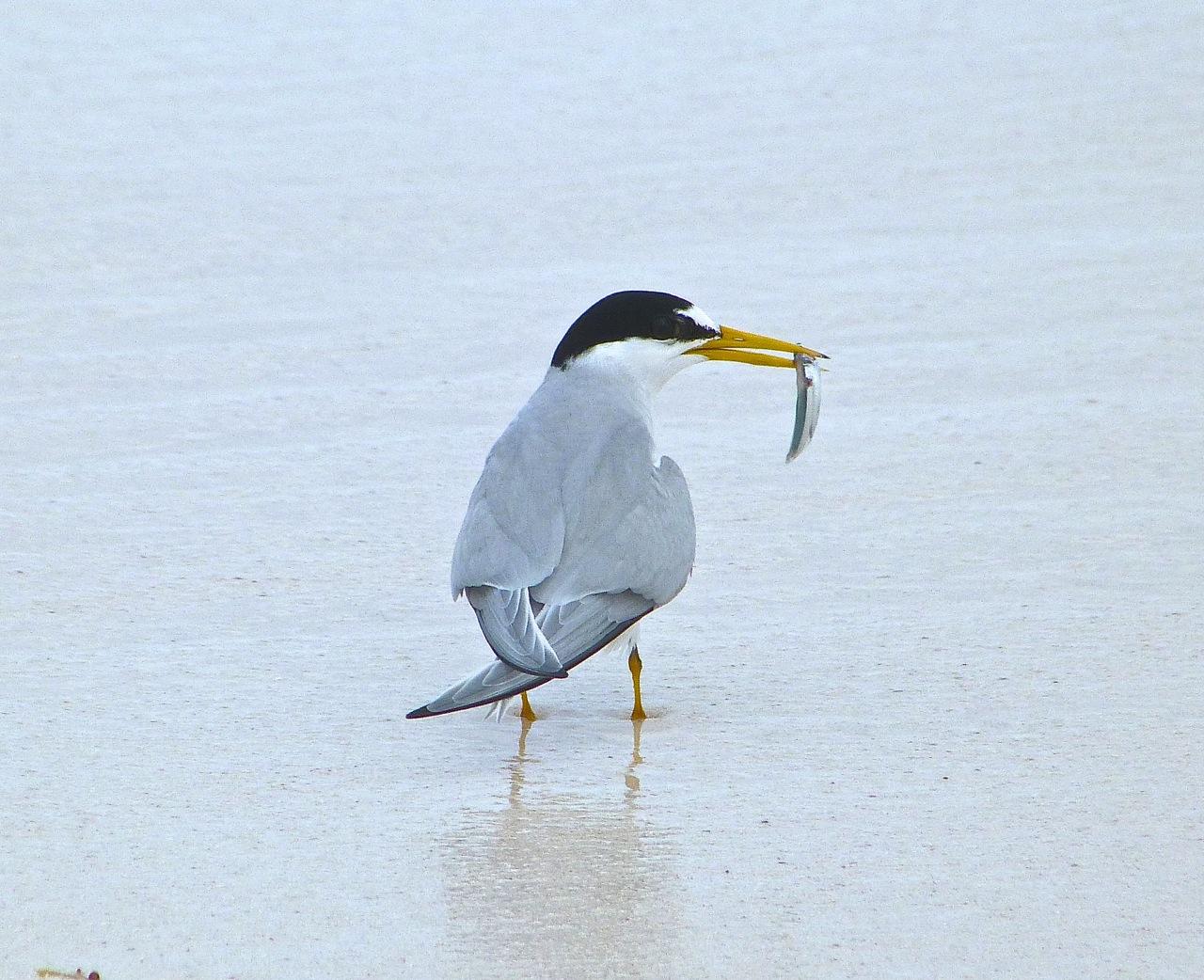 Least Tern, Abaco