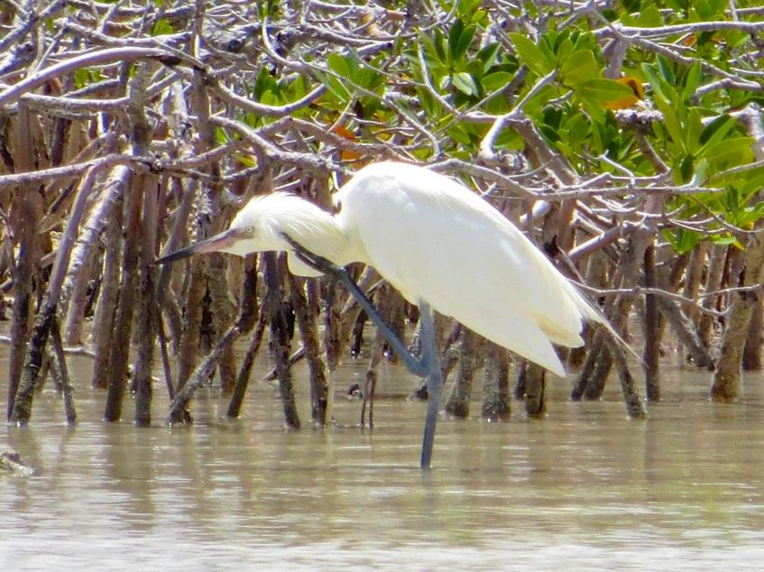 Reddish Egret (White Morph), Abaco Marls