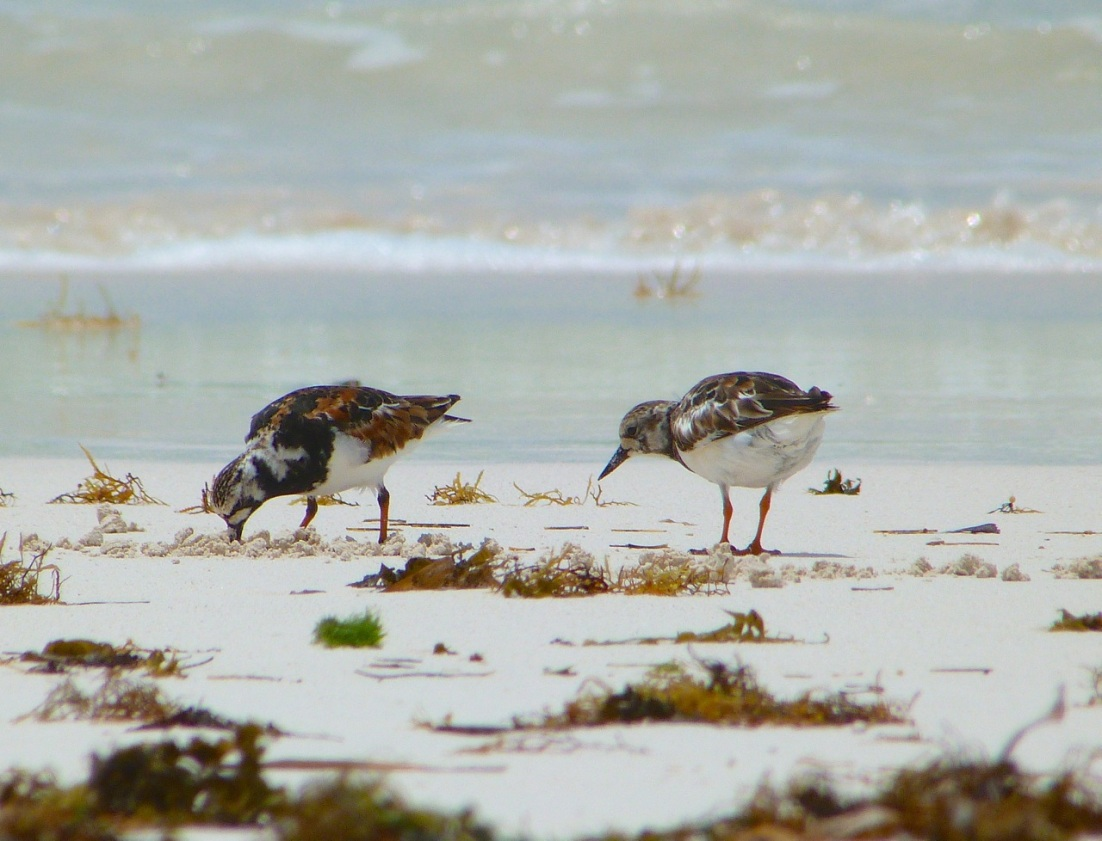 Ruddy Turnstones at Delphi, Abaco 1