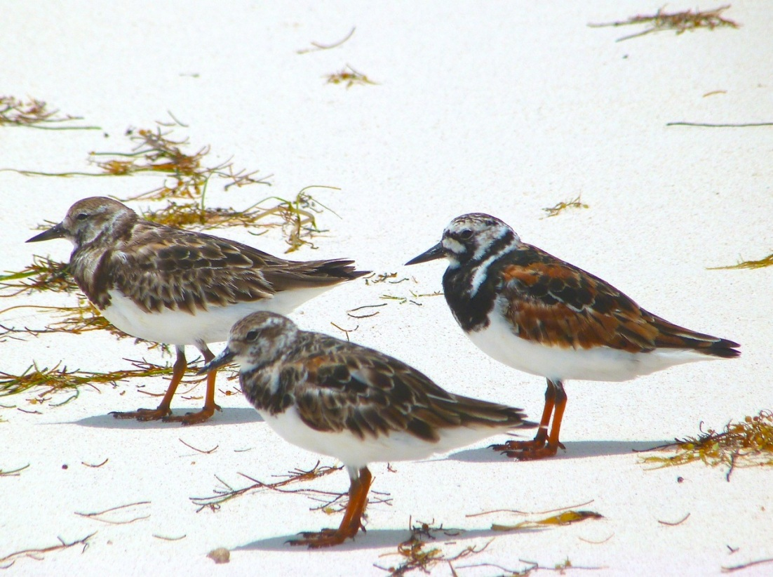 Ruddy Turnstones at Delphi, Abaco 11