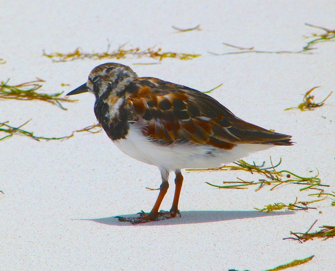 Ruddy Turnstones at Delphi, Abaco 12