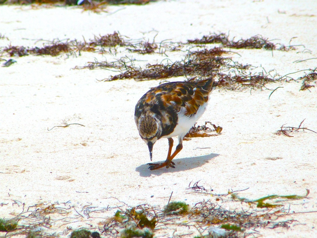 Ruddy Turnstones at Delphi, Abaco 13