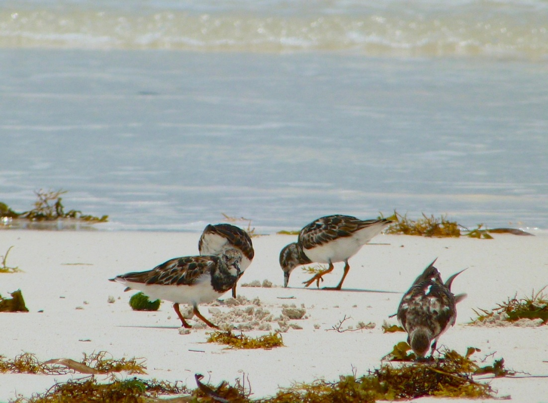 Ruddy Turnstones at Delphi, Abaco 2