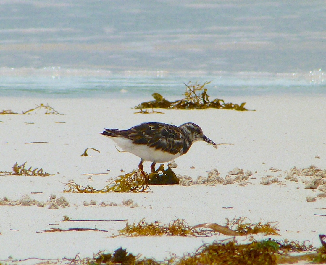Ruddy Turnstones at Delphi, Abaco 4