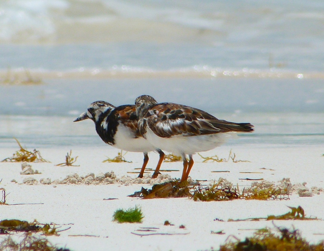 Ruddy Turnstones at Delphi, Abaco 6