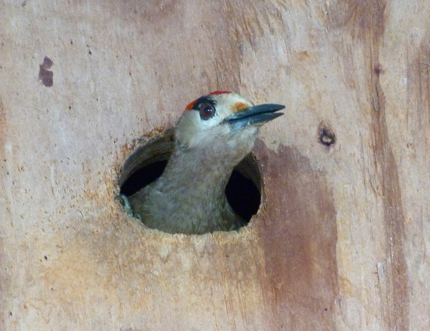West Indian Woodpecker chick in nest box, Abaco