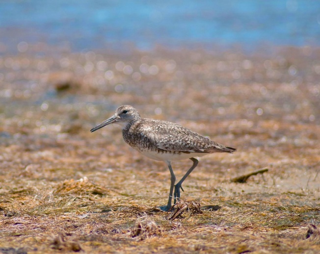 Willet, Abaco