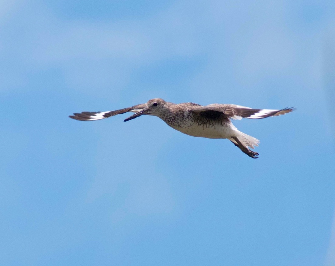 Willet in Flight 2