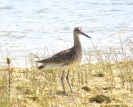 Willet, The Marls, Abaco