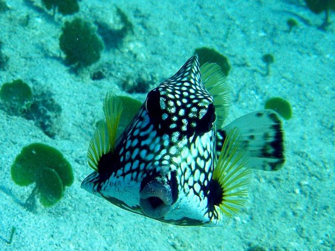 Smooth Trunkfish Lactophrys triqueter (Wiki)
