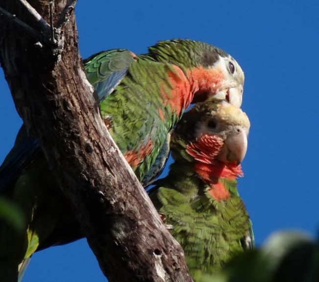 Abaco Parrot pair, Abaco (©Melissa Maura)