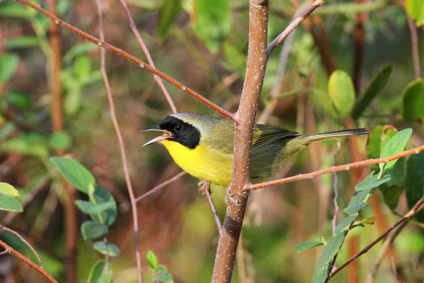Abaco_Bahama Yellowthroat_Gerlinde Taurer copy