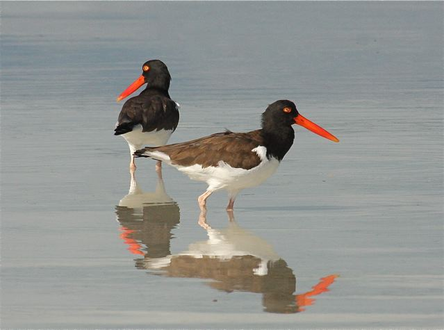 American Oystercatcher pair, Abaco Bahamas - Tom Sheley