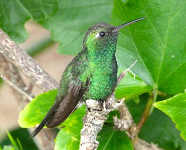 cuban-emerald-delphi-abaco-3