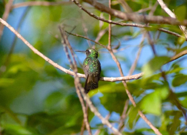 Cuban Emerald DSC_0095
