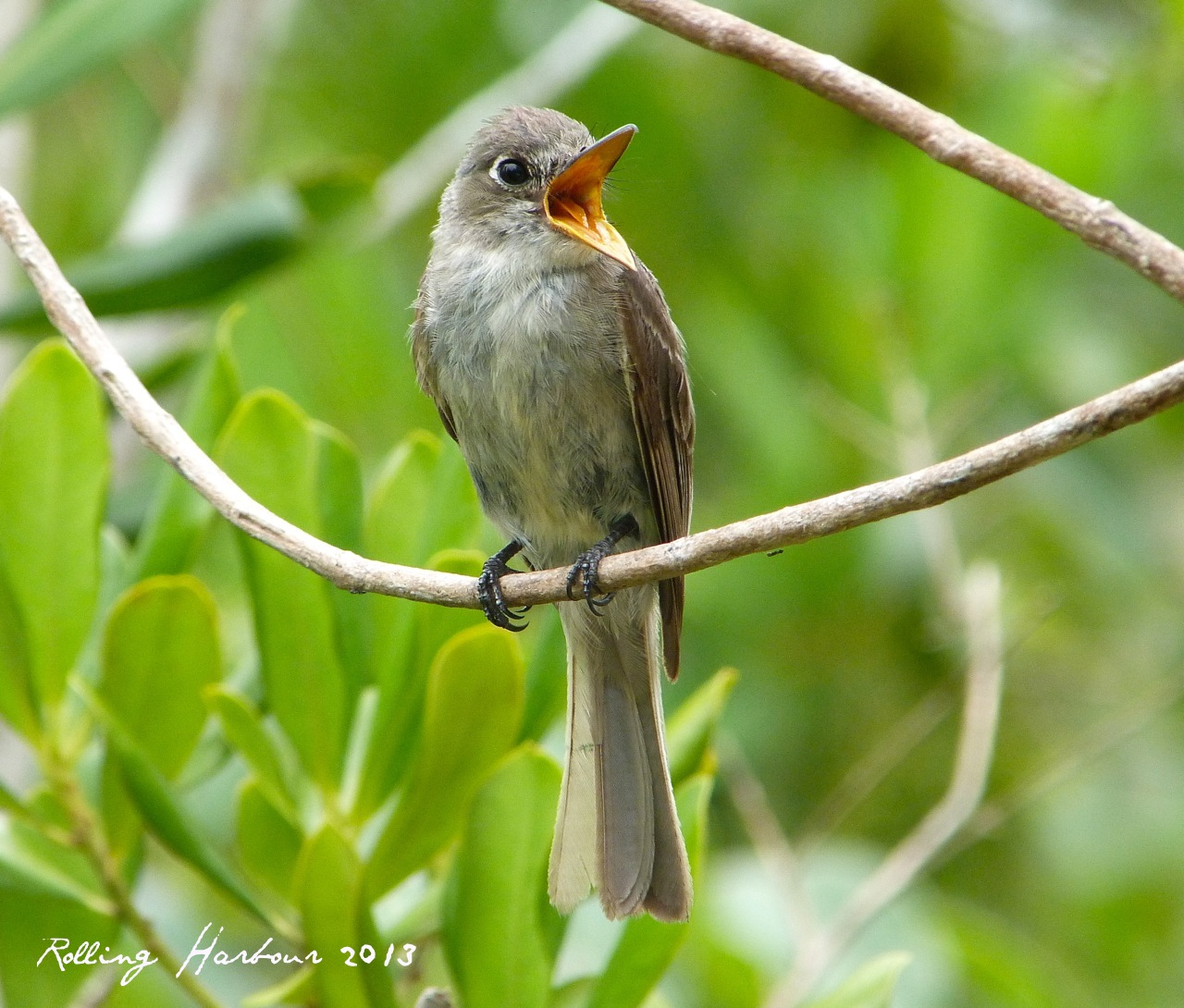 Cuban Pewee on Abaco