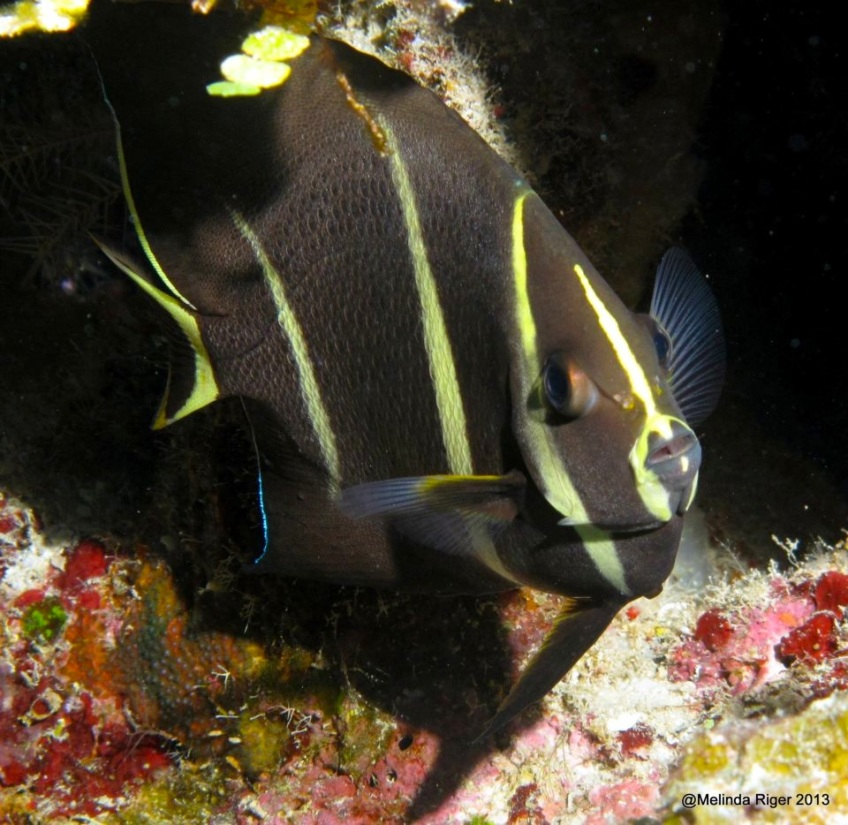 French Angelfish 2 ©Melinda Riger @ GBS