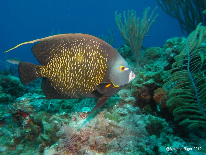 French Angelfish ©Melinda Riger @ GBS