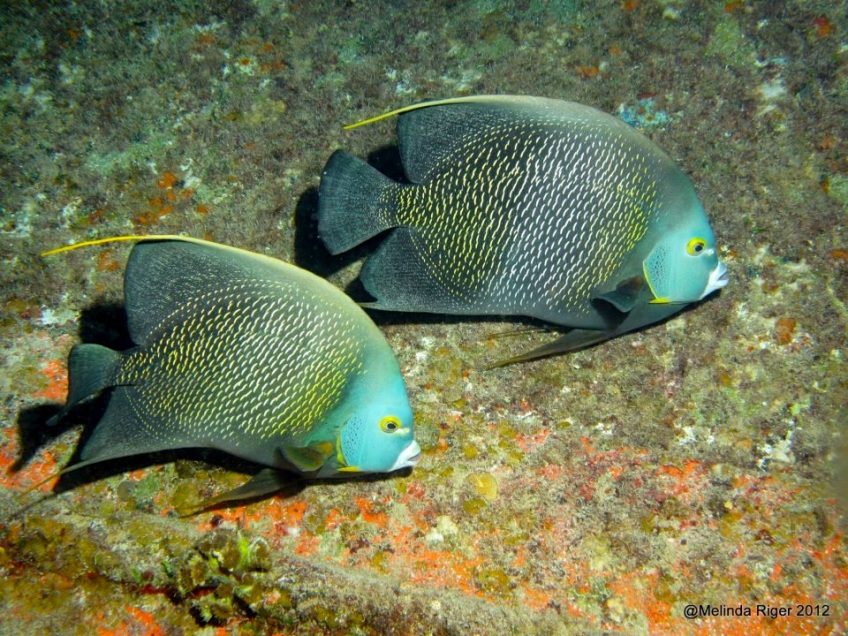 French Angelfish ©Melinda Riger @ Grand Bahama Scuba