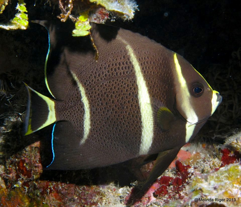 French Angelfish (juv), Bahamas (Melinda Riger)