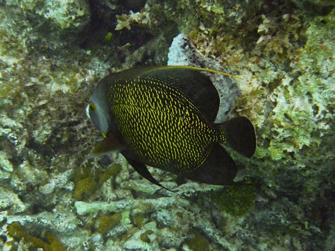 French Angelfish Pomacanthus wiki