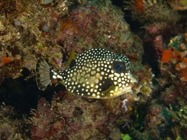 Lactophrys triqueter (Smooth Trunkfish) juvenile Wiki
