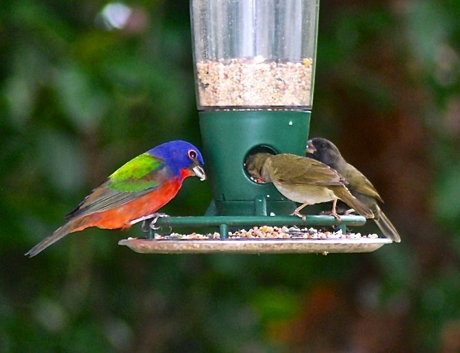 Painted Bunting, Delphi, Abaco (Sandy Walker)