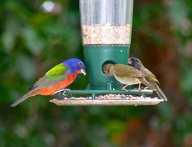 Painted Bunting SW - V2 jpg