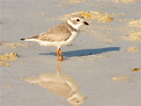 Piping Plover, Abaco Bahamas (Bruce Hallett)