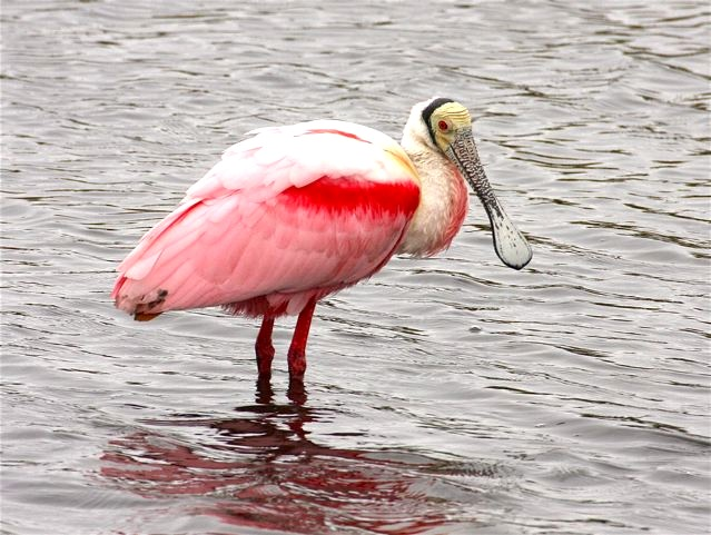Roseate Spoonbill BH (from WB)