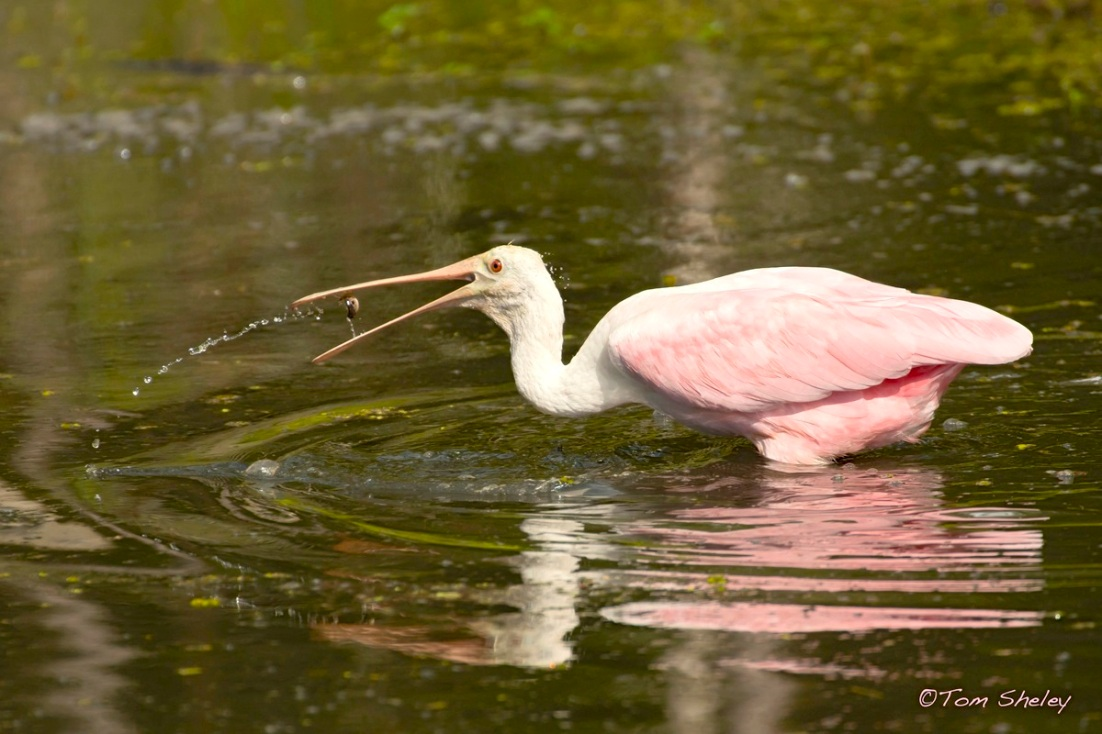 Roseate Spoonbill flipping fish LR.Wildcat Run FL.Tom Sheley