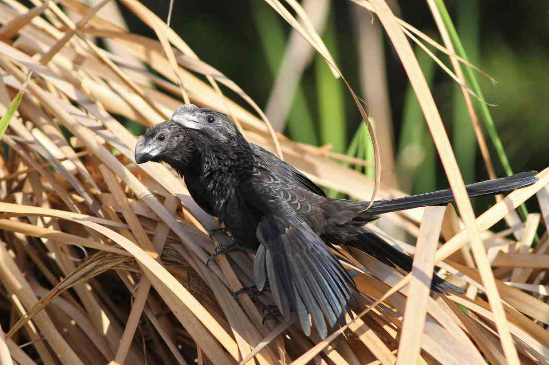 Smooth-billed Ani pair, Abaco (Gerlinde Taurer)