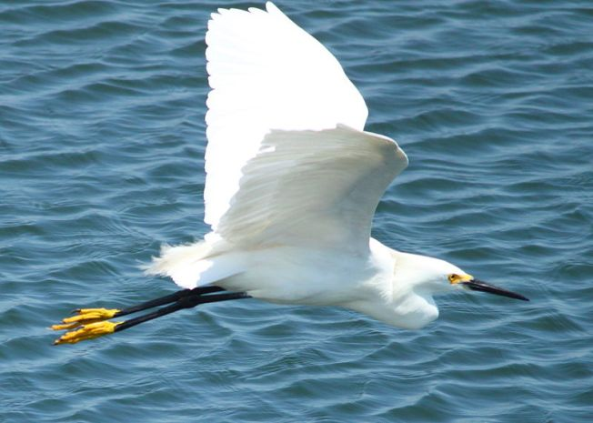 Snow Egret in Flight (Wiki)