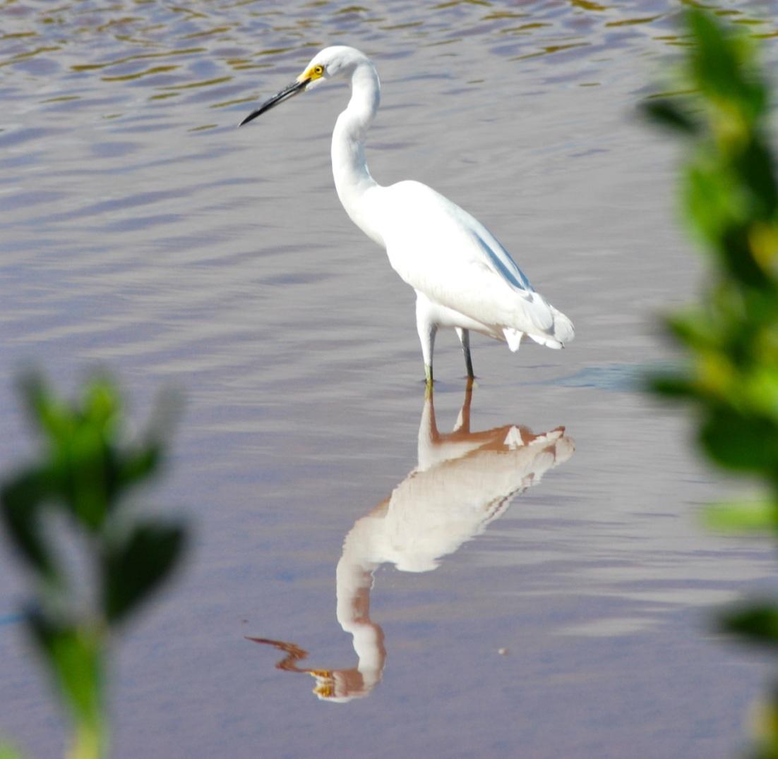 Snowy Egret, Abaco (Sandy Walker)