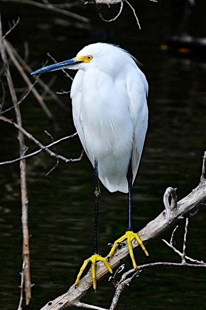 Snowy Egret ACH1409