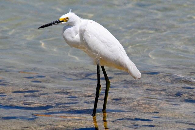Snowy Egret, Abaco (Woody Bracey)