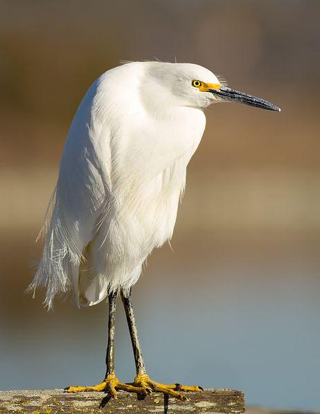 Snowy Egret (Wiki)