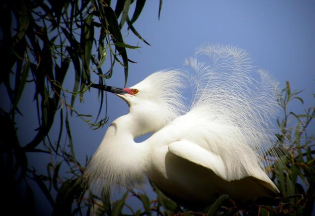 Snowy_Egret_-_full_breeding_plumage-1 wiki