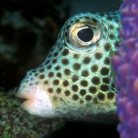 SPOTTED & SMOOTH TRUNKFISH: BAHAMAS REEF FISH (16)