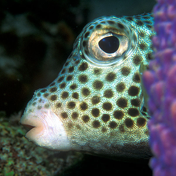 Spotted Trunkfish Lactophrys bicaudalis (wiki)