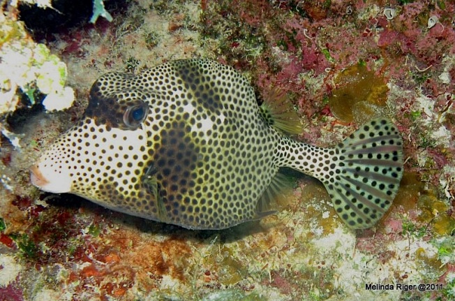 Trunkfish © Melinda Riger @ Grand Bahama Scuba copy 2
