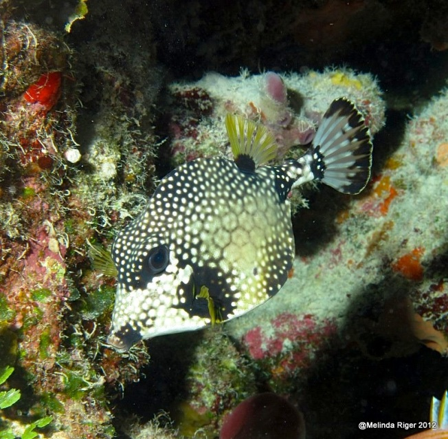 Trunkfish © Melinda Riger @ Grand Bahama Scuba