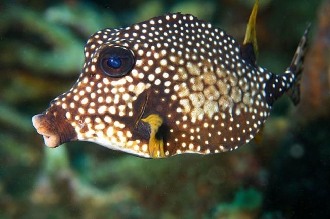 Trunkfish (Wiki)