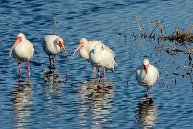 White Ibis (Hans Stieglitz WMC)